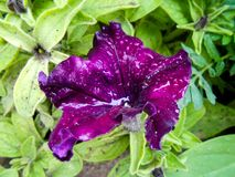 Striped terry violet large petunia in the garden stock images