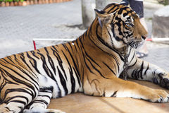 Beautiful striped tiger. It is lazy lies and watches people stock images
