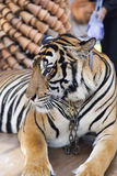 Beautiful striped tiger. It is lazy lies and watches people stock photography