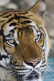 Beautiful striped tiger Royalty Free Stock Image