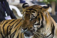 Beautiful striped tiger Royalty Free Stock Photo