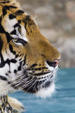 Beautiful striped tiger Royalty Free Stock Images