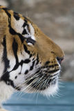 Beautiful striped tiger Stock Image
