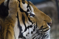 Beautiful striped tiger. It is lazy lies and watches people royalty free stock image