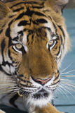 Beautiful striped tiger. It is lazy lies and watches people royalty free stock photo