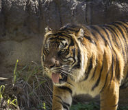 Beautiful striped tiger. On the prowl with fangs showing stock photos