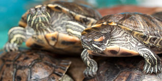 Beautiful striped turtles Stock Photography
