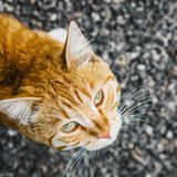 Beautiful stripy ginger cat with white whiskers, view from above.  royalty free stock photos