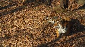 Beautiful amur or ussuri tiger is lying in Primorsky Safari park, Russia. Beautiful and strong amur or ussuri tiger is lying under a tree in Primorsky Safari stock video