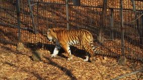 Amur or ussuri tiger is walking in Primorsky Safari park, Russia. Beautiful and strong amur or ussuri tiger is walking in Primorsky Safari park, Russia. Safari stock footage