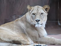 Beautiful, strong, graceful lioness walking in a zoo behind a thick protective glass. Beautiful, strong, graceful lioness walking in a zoo Royalty Free Stock Photography