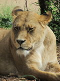 Beautiful, strong, graceful lioness walking in a zoo behind a thick protective glass. Beautiful, strong, graceful lioness walking in a zoo Royalty Free Stock Photos