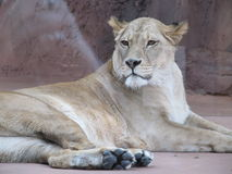 Beautiful, strong, graceful lioness walking in a zoo. behind a thick protective glass. Beautiful, strong, graceful lioness walking in a zoo Royalty Free Stock Image