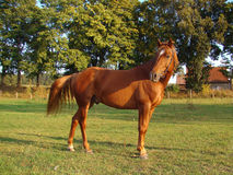 Beautiful strong horse Royalty Free Stock Photography