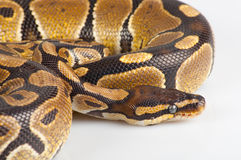 Beautiful strong python Stock Photo