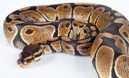 Beautiful strong python lying peacefully. Isolated on white background stock photos