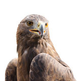 Beautiful strong raptor golden eagle bird Royalty Free Stock Photo