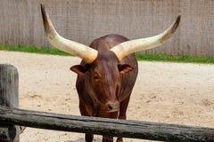 Beautiful strong Watusi cattle on the farm