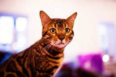 Beautiful stylish Bengal cat. Animal portrait. Background, pet, domestic, cute, feline, kitty, breed, fur, striped, adorable, mammal, playful, purebred royalty free stock image