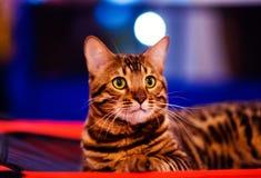 Beautiful stylish Bengal cat. Animal portrait. Background, pet, domestic, cute, feline, kitty, breed, fur, striped, adorable, mammal, playful, purebred royalty free stock photos
