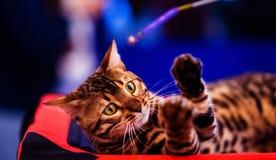 Beautiful stylish Bengal cat. Animal portrait. Background, pet, domestic, cute, feline, kitty, breed, fur, striped, adorable, mammal, playful, purebred royalty free stock photo