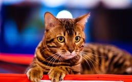 Beautiful stylish Bengal cat. Animal portrait. Background, pet, domestic, cute, feline, kitty, breed, fur, striped, adorable, mammal, playful, purebred royalty free stock photography