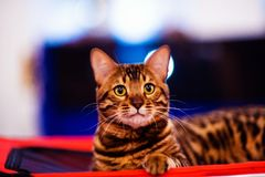Beautiful stylish Bengal cat. Animal portrait. Background, pet, domestic, cute, feline, kitty, breed, fur, striped, adorable, mammal, playful, purebred stock photos