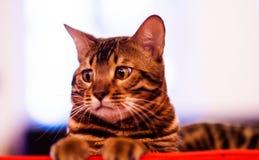 Beautiful stylish Bengal cat. Animal portrait. Background, pet, domestic, cute, feline, kitty, breed, fur, striped, adorable, mammal, playful, purebred stock photography