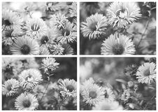Beautiful stylized collage, black and white photo. Autumn Flower - Chrysanthemum stock photo