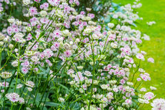 Beautiful, subtle flowers blossom in the garden Royalty Free Stock Image