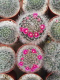 Beautiful succulent cactus royalty free stock image