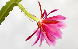 Beautiful succulent flower back. Close up of a succulent flower on white Stock Photo