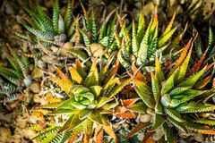 Family of succulent plants close up shot Royalty Free Stock Image