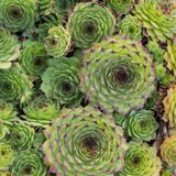 Beautiful Succulent Plants, Echeveria for Background. Square. stock photography