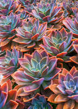 Beautiful succulent plants, echeveria succulents. Arranged on the ground royalty free stock photography