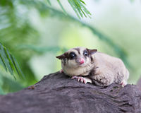 Beautiful sugar glider Stock Photography