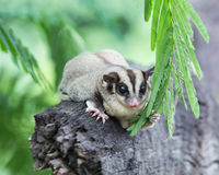 Beautiful sugar glider Stock Images