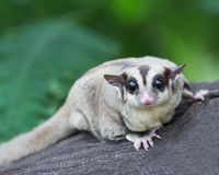 Beautiful sugar glider Stock Image