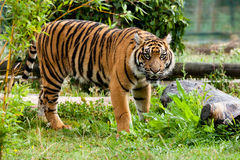 Beautiful Sumatran Tiger Growling in Greenery Stock Photos