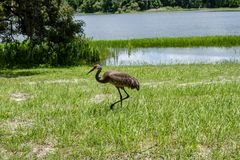 Sandhill Crane at Withlacoochee State Forest royalty free stock image
