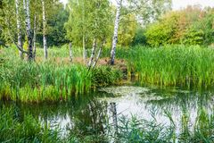 Beautiful summer-autumn water landscape with birches and water plants. Great Manna Grass Glyceria maxima, broad-leaved pondweed Potamogeton natans, Common reed royalty free stock photo