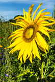 Beautiful summer background with sunflower Stock Photo