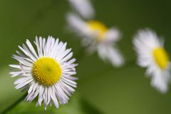 Beautiful summer background of wild flowers daisy closeup. Outdoor. horizontal Royalty Free Stock Photo