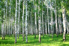 Beautiful summer birch grove in the evening Royalty Free Stock Photography