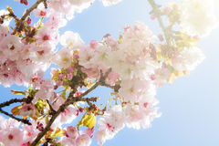 Beautiful summer blossom tree Stock Photo