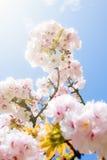 Beautiful summer blossom tree Stock Image