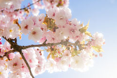 Beautiful summer blossom tree Royalty Free Stock Photography