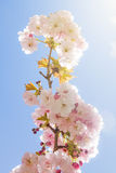 Beautiful summer blossom tree Stock Image