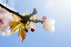 Beautiful summer blossom tree Royalty Free Stock Image