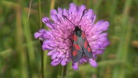 Beautiful summer butterfly (Zygaena) on flower in meadow stock video footage